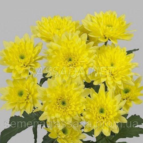 Хризантема Зембла желтая Черенок 2-5 см