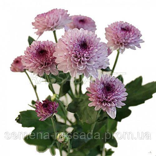 Хризантема Лолипоп розовая Черенок 2-5 см