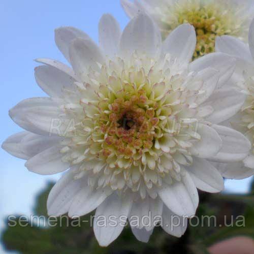 Хризантема Медея белая Черенок 2-5 см