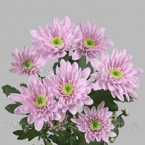 Хризантема Мона Лиза розовая Черенок 2-5 см