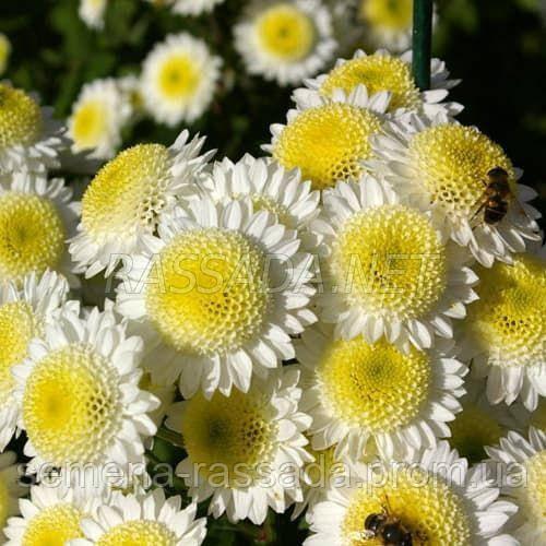 Хризантема Пума белая Черенок 2-5 см