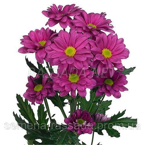 Хризантема Толита сиреневая Черенок 2-5 см