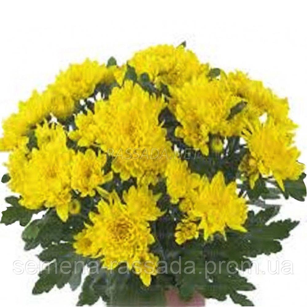 Хризантема Кристал Санни жёлтая Черенок 2-5 см