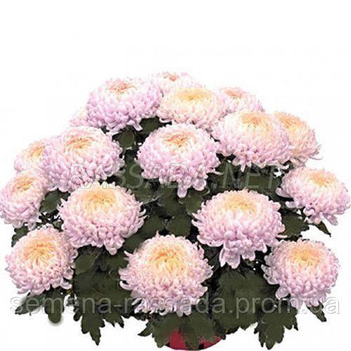 Хризантема Кучин розовая Черенок 2-5 см
