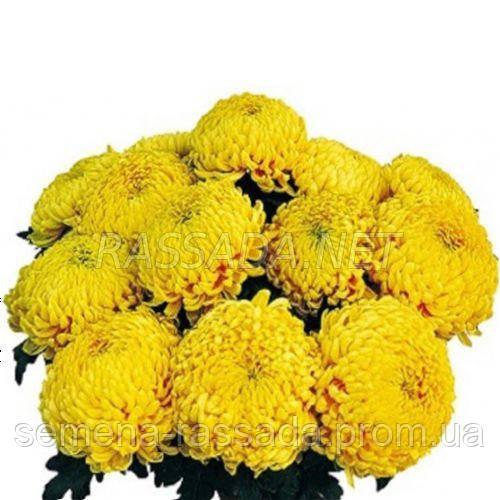 Хризантема Марица желтая Черенок 2-5 см