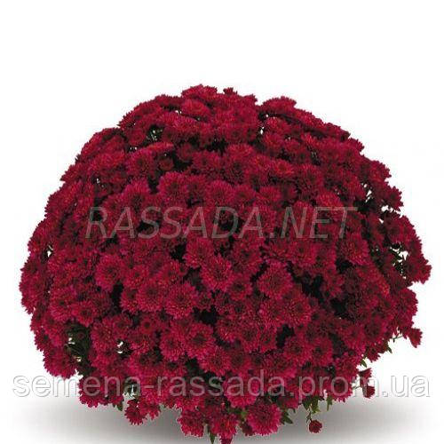Хризантема Изабель красная Черенок 2-5 см