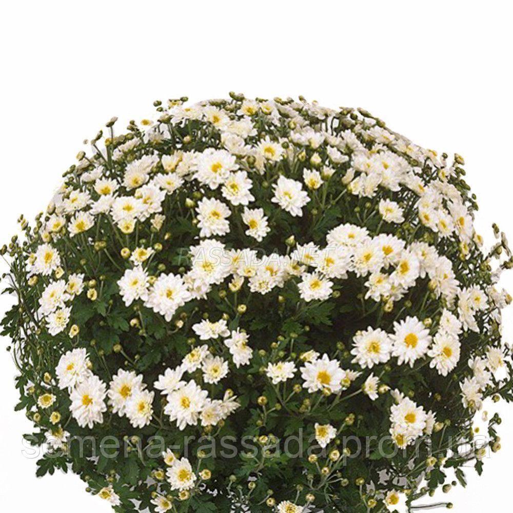 Хризантема Касабланка белая Черенок 2-5 см