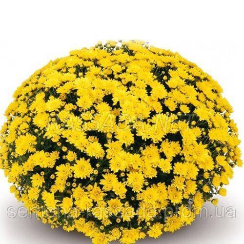 Хризантема Конако желтая Черенок 2-5 см