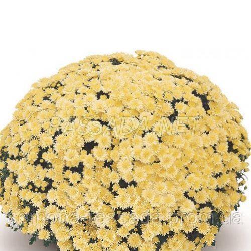 Хризантема Оваро лимонная Черенок 2-5 см