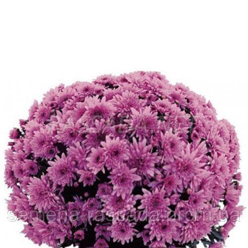 Хризантема Парме сиреневая Черенок 2-5 см