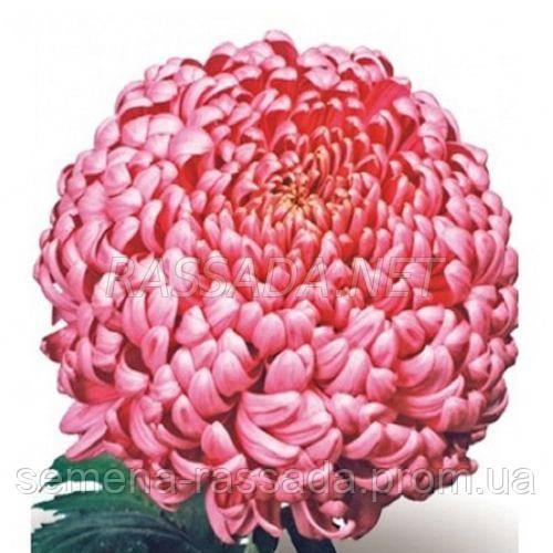 Хризантема Бислет сиреневая Черенок 2-5 см