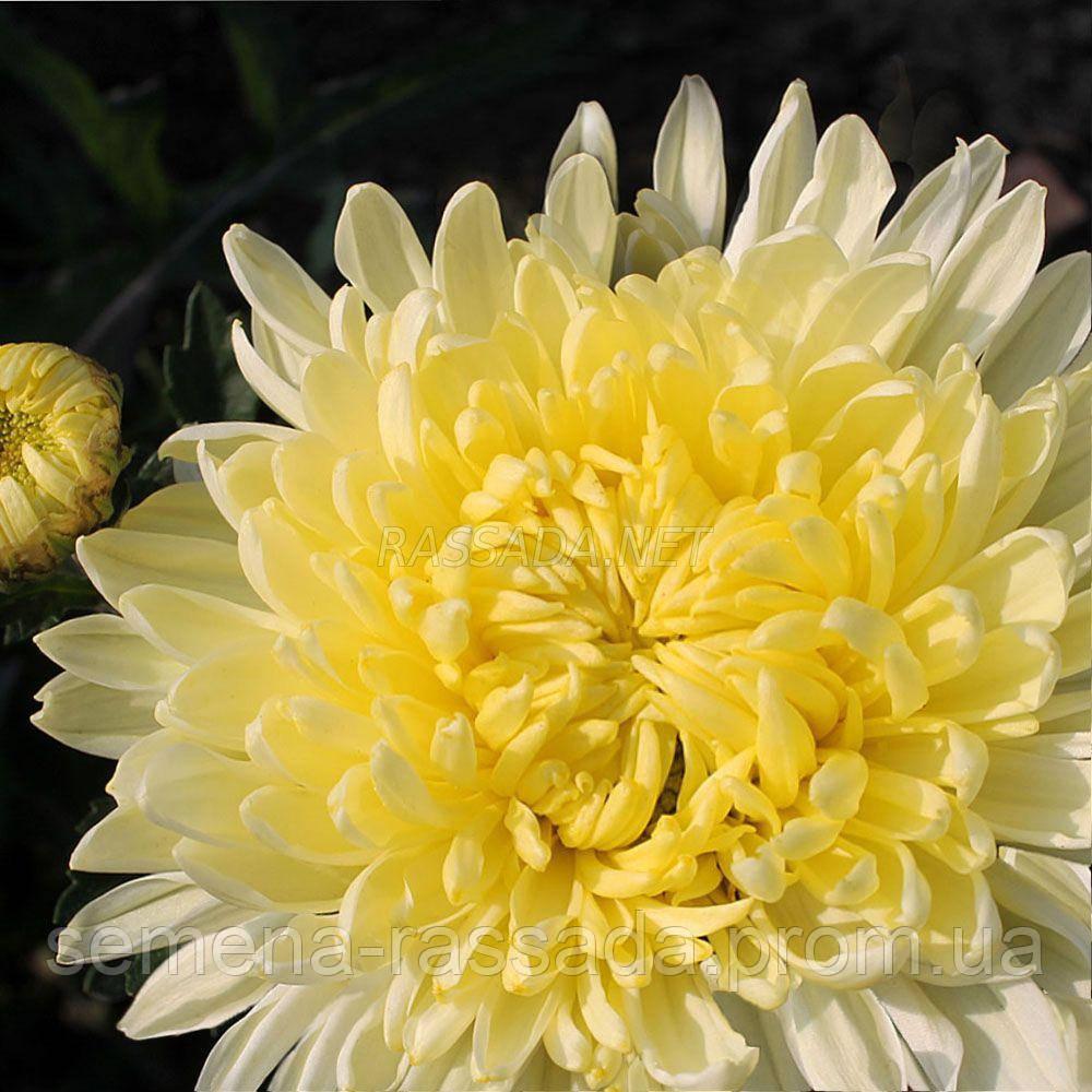 Хризантема Кремист белая Черенок 2-5 см