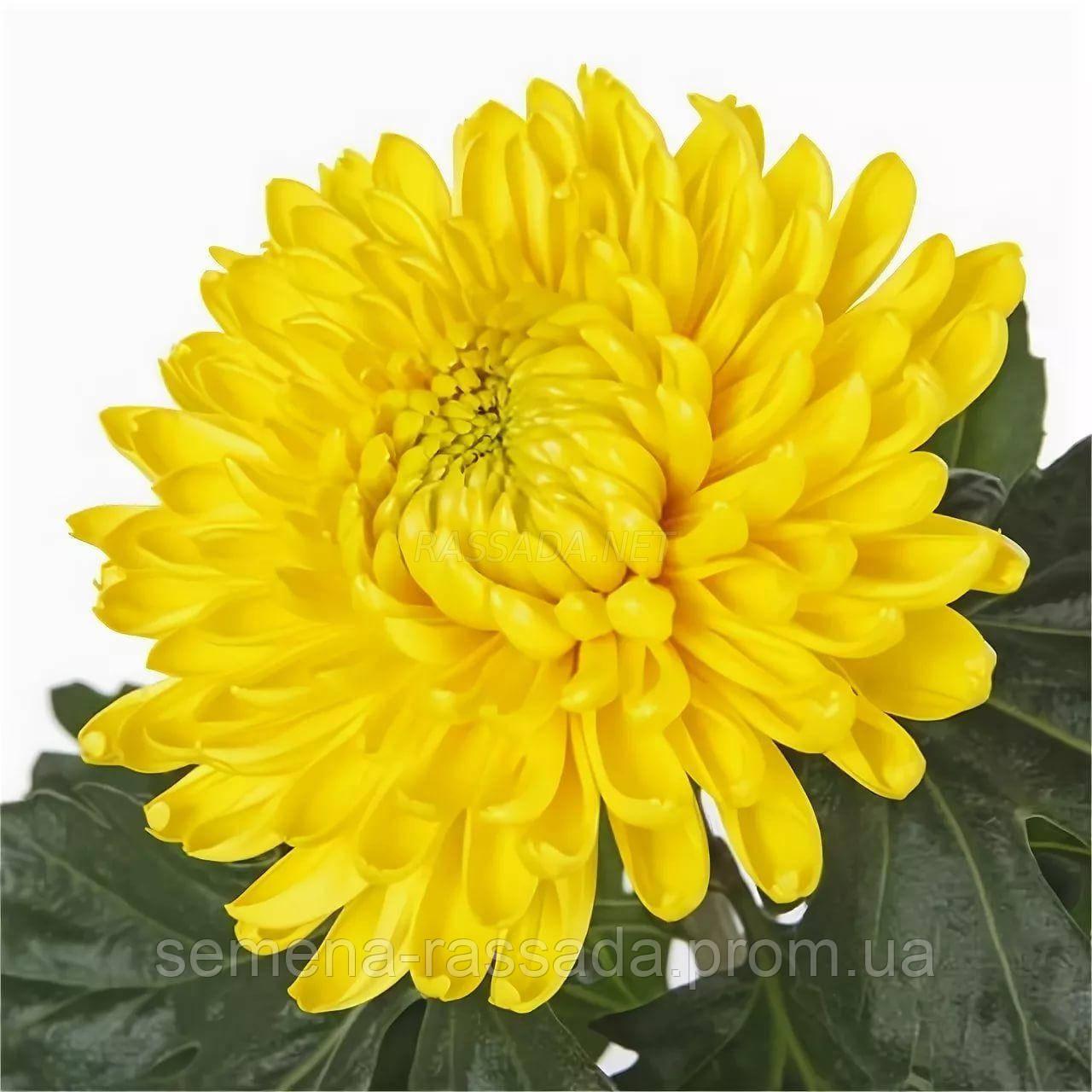 Хризантема Магнум жёлтая Черенок 2-5 см