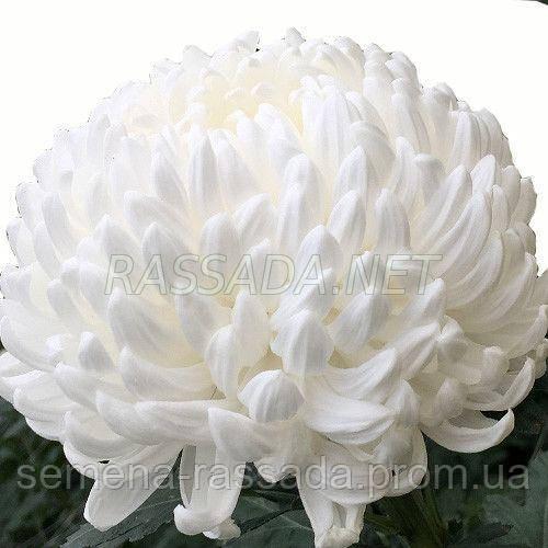 Хризантема Милка белая Черенок 2-5 см