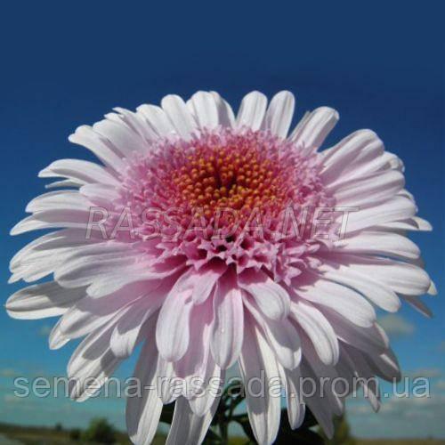 Хризантема Элеонора розовая Черенок 2-5 см
