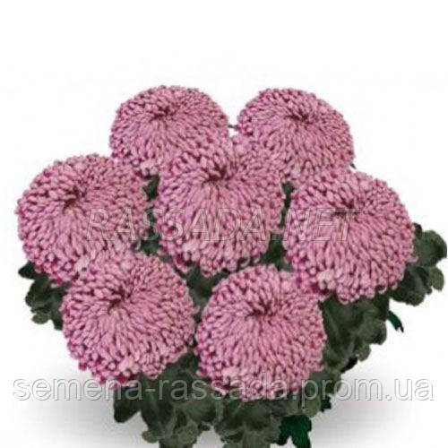 Хризантема Сикис бордо Черенок 2-5 см