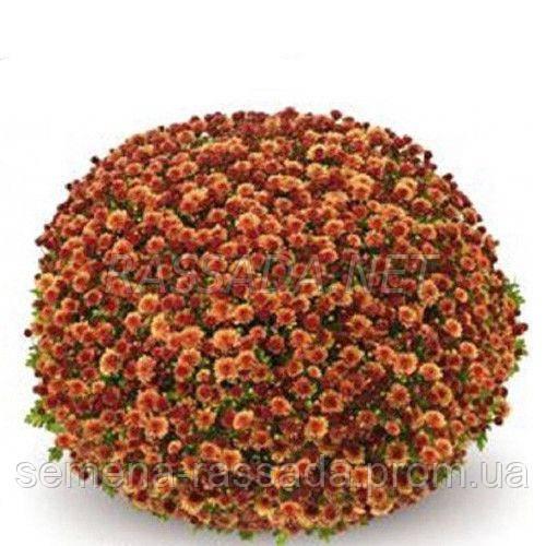 Хризантема мультифлора Бореаль оранжевая (черенок 2-5 см, отгрузка после 20.05.2021 г).