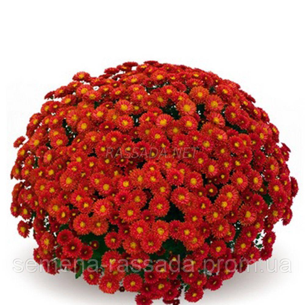 Хризантема мультифлора Дора красная (черенок 2-5 см, отгрузка после 20.05.2021 г).