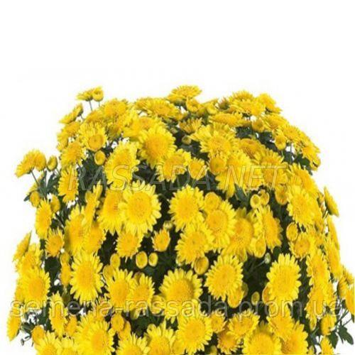 Хризантема мультифлора Флорина желтая (черенок 2-5 см, отгрузка после 20.05.2021 г).