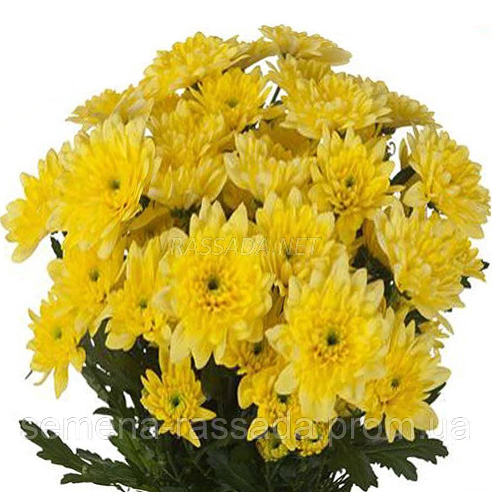 Хризантема веточная Балтика жёлтая (черенок 2-5 см, отгрузка после 20.05.2021 г).