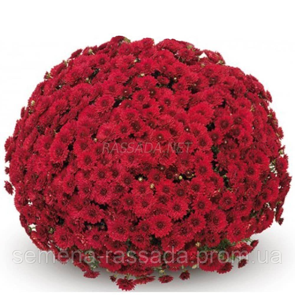 Хризантема мультифлора Барселона Джогер красная (черенок 2-5 см, отгрузка после 20.05.2021 г).