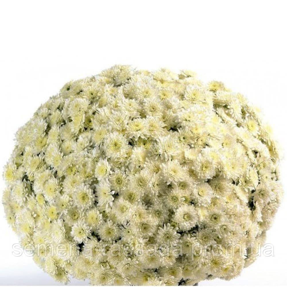 Хризантема мультифлора Матина белая (черенок 2-5 см, отгрузка после 20.05.2021 г).