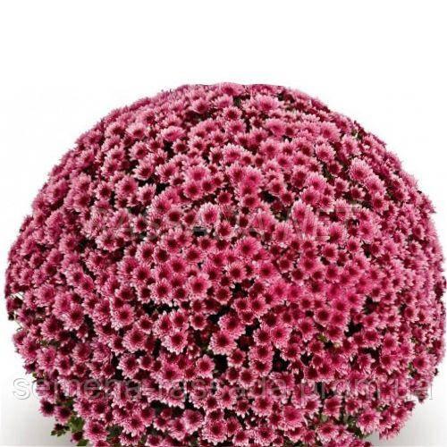 Хризантема мультифлора Накато розовая (черенок 2-5 см, отгрузка после 20.05.2021 г).
