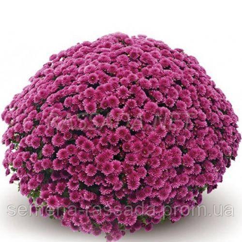 Хризантема мультифлора Флоринт розовая (черенок 2-5 см, отгрузка после 20.05.2021 г).