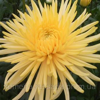 Хризантема крупноцветная Анастасия жёлтая (черенок 2-5 см, отгрузка после 20.05.2021 г).