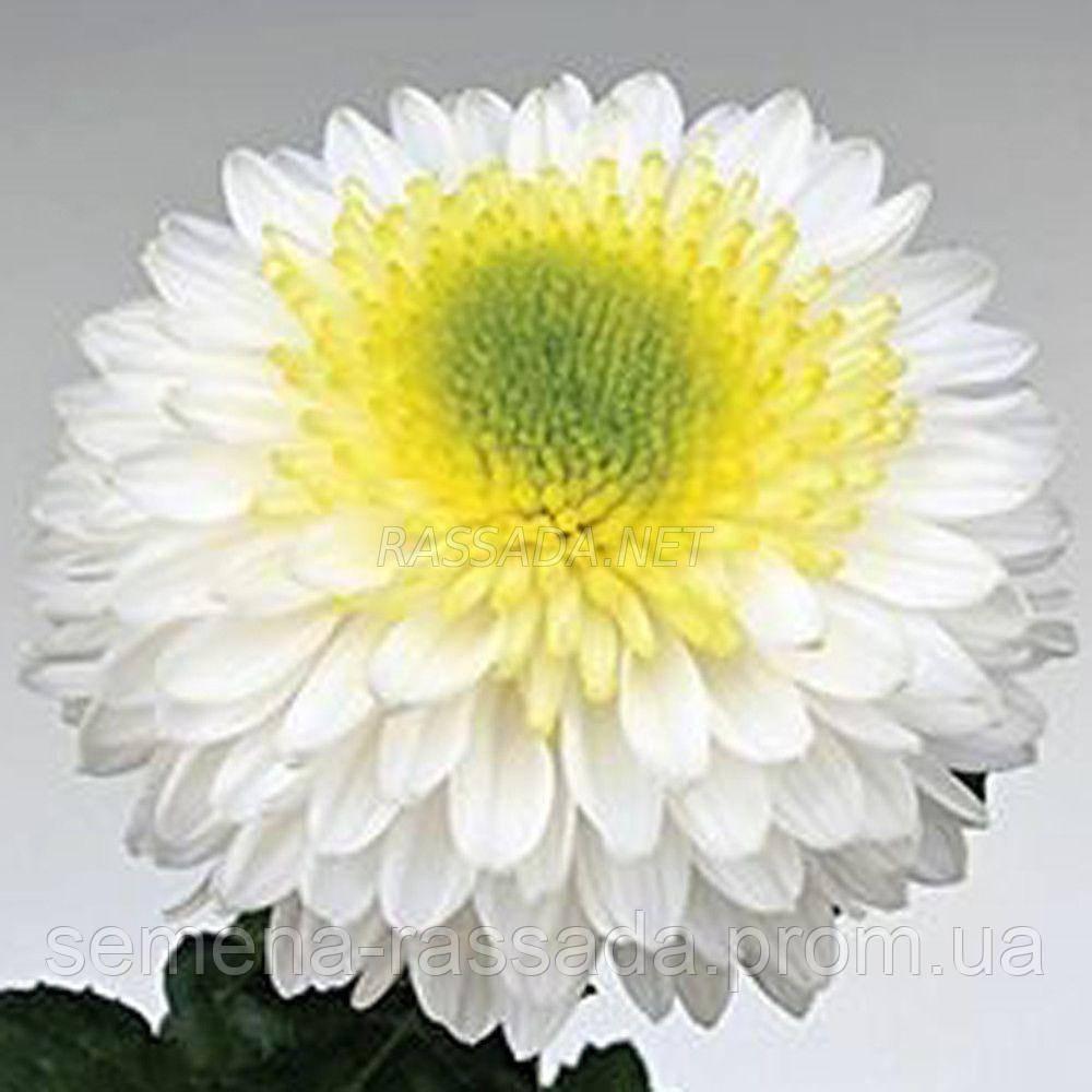 Хризантема крупноцветная Инга белая (черенок 2-5 см, отгрузка после 20.05.2021 г).