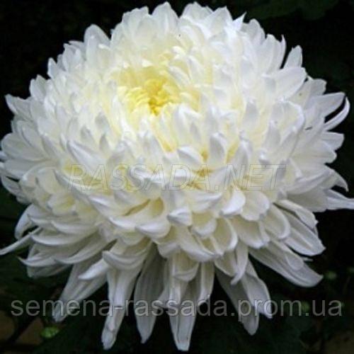 Хризантема крупноцветная Полисада белая (черенок 2-5 см, отгрузка после 20.05.2021 г).