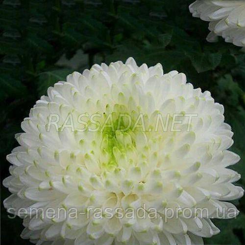 Хризантема крупноцветная Резолют белая (черенок 2-5 см, отгрузка после 20.05.2021 г).