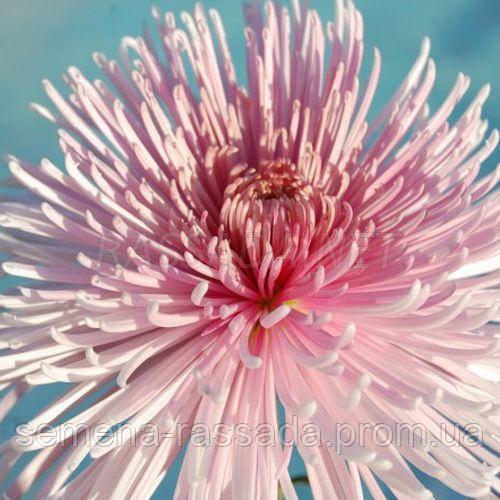 Хризантема крупноцветная Спиро (черенок 2-5 см, отгрузка после 20.05.2021 г).