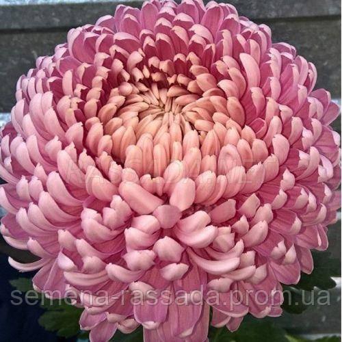 Хризантема крупноцветная Хорбил розовая (черенок 2-5 см, отгрузка после 20.05.2021 г).