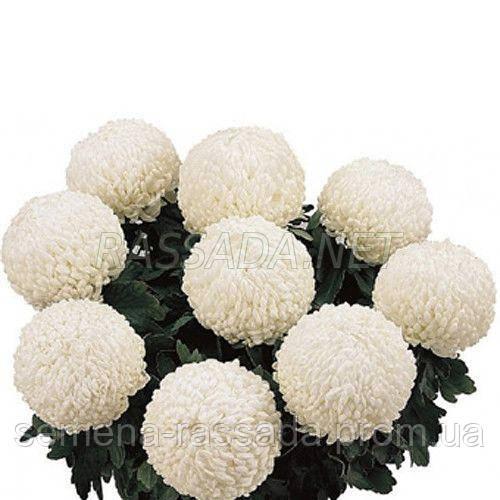 Хризантема крупноцветная Роялс белая (черенок 2-5 см, отгрузка после 20.05.2021 г).