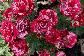 Роза Пёстрая Фантазия Ч-Г, фото 2