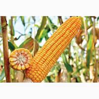 Насіння кукурудзи РАМ 1033 (АК Степова) ФАО 270