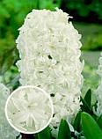 Гіацинт Crystal Snow махровий 1 цибулина, фото 3