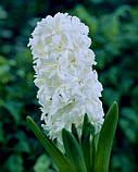 Гіацинт Crystal Snow махровий 1 цибулина, фото 4