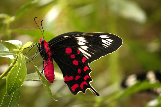 Papilio hector
