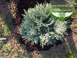 Chamaecyparis lawsoniana 'Silver Globus', Кипарисовик Лавсона 'Сілвер Глобус',WRB - ком/сітка,60-70см, фото 3