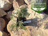 Chamaecyparis lawsoniana 'Silver Globus', Кипарисовик Лавсона 'Сілвер Глобус',WRB - ком/сітка,60-70см, фото 4