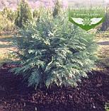 Chamaecyparis lawsoniana 'Silver Globus', Кипарисовик Лавсона 'Сілвер Глобус',WRB - ком/сітка,60-70см, фото 5