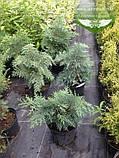 Chamaecyparis lawsoniana 'Silver Globus', Кипарисовик Лавсона 'Сілвер Глобус',WRB - ком/сітка,60-70см, фото 7