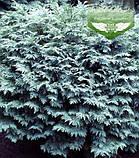 Chamaecyparis lawsoniana 'Silver Globus', Кипарисовик Лавсона 'Сілвер Глобус',WRB - ком/сітка,60-70см, фото 8