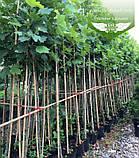 Platanus x acerifolia, Платан кленолистий,WRB - ком/сітка,250-300см,TG8-10, фото 3