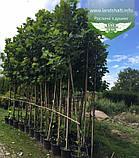 Platanus x acerifolia, Платан кленолистий,WRB - ком/сітка,250-300см,TG8-10, фото 5