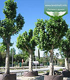 Platanus x acerifolia, Платан кленолистий,WRB - ком/сітка,250-300см,TG8-10, фото 7