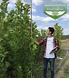 Platanus x acerifolia, Платан кленолистий,WRB - ком/сітка,250-300см,TG8-10, фото 10