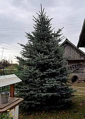 Ёлка живая серебряная высота 5,5м
